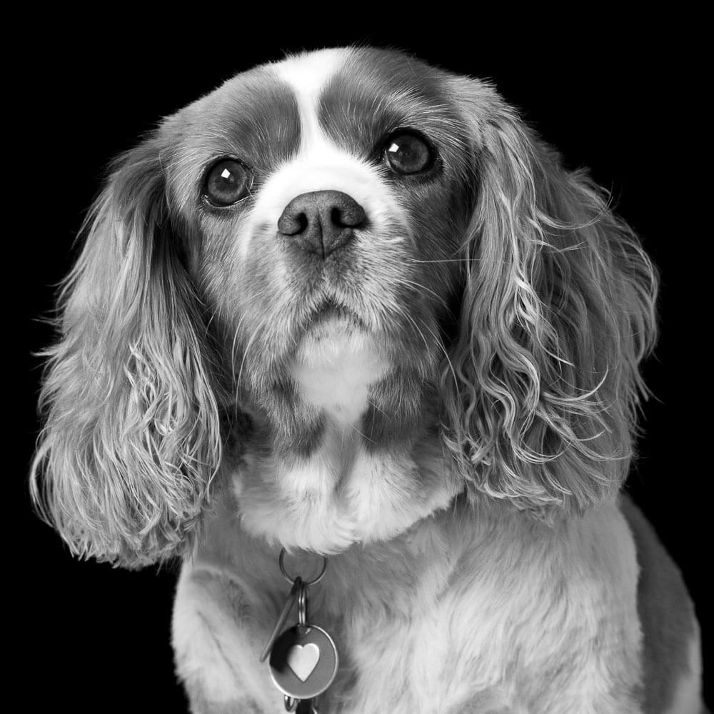 Portrait of a Cavalier King Charles Spaniel on a black background in black and white in Thame, Oxfordshire