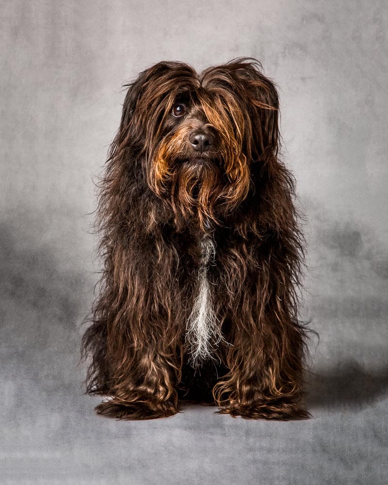 Dog photographed on a grey background, photographed by Mark Hewitson Photography of Thame, Oxfordshire