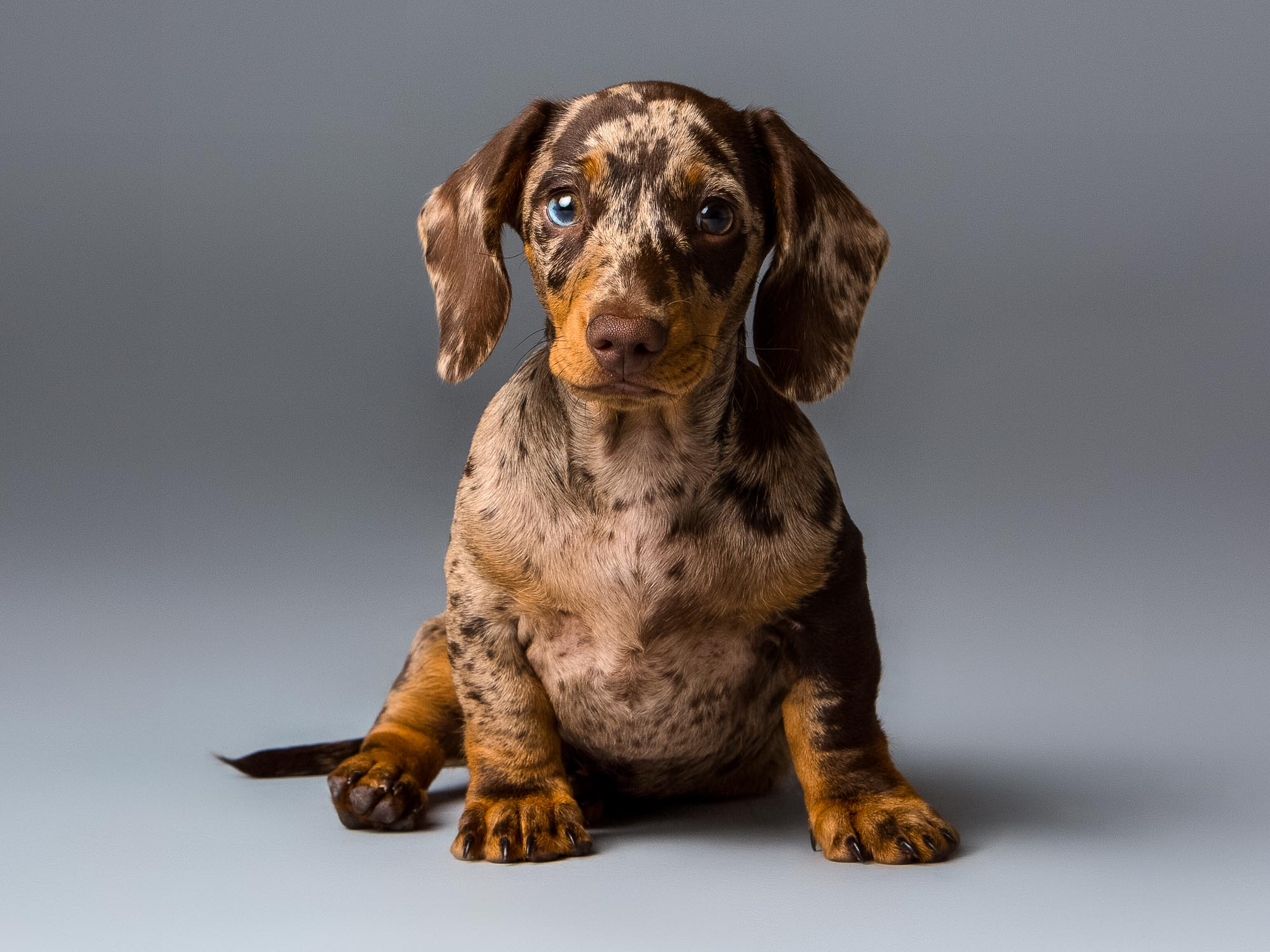 Miniature Dachshund Portrait by Mark Hewitson Photography of Thame, Oxfordshire