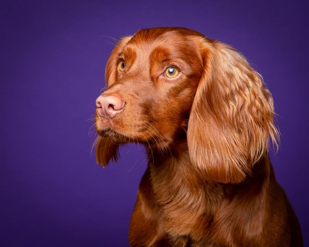 Working Cocker Spaniel on a purple background by Mark Hewitson Photography of Thame, Oxfordshire